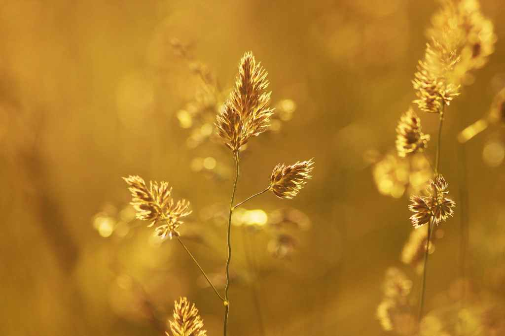 close up of wheat plant during sunset